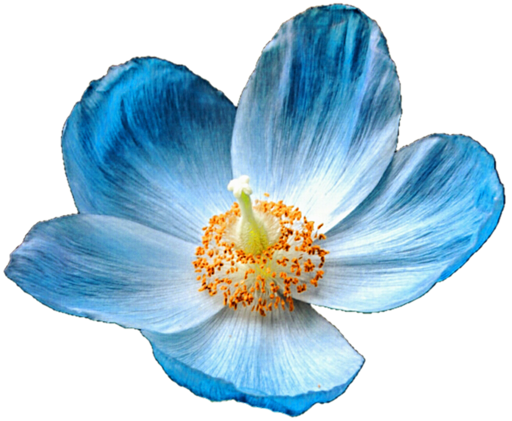 Iceland blue by jeanicebartzen. Poppy clipart poppy flower