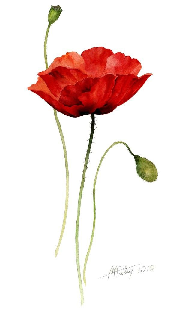 Poppy clipart single poppy. Beauty watercolor poppies