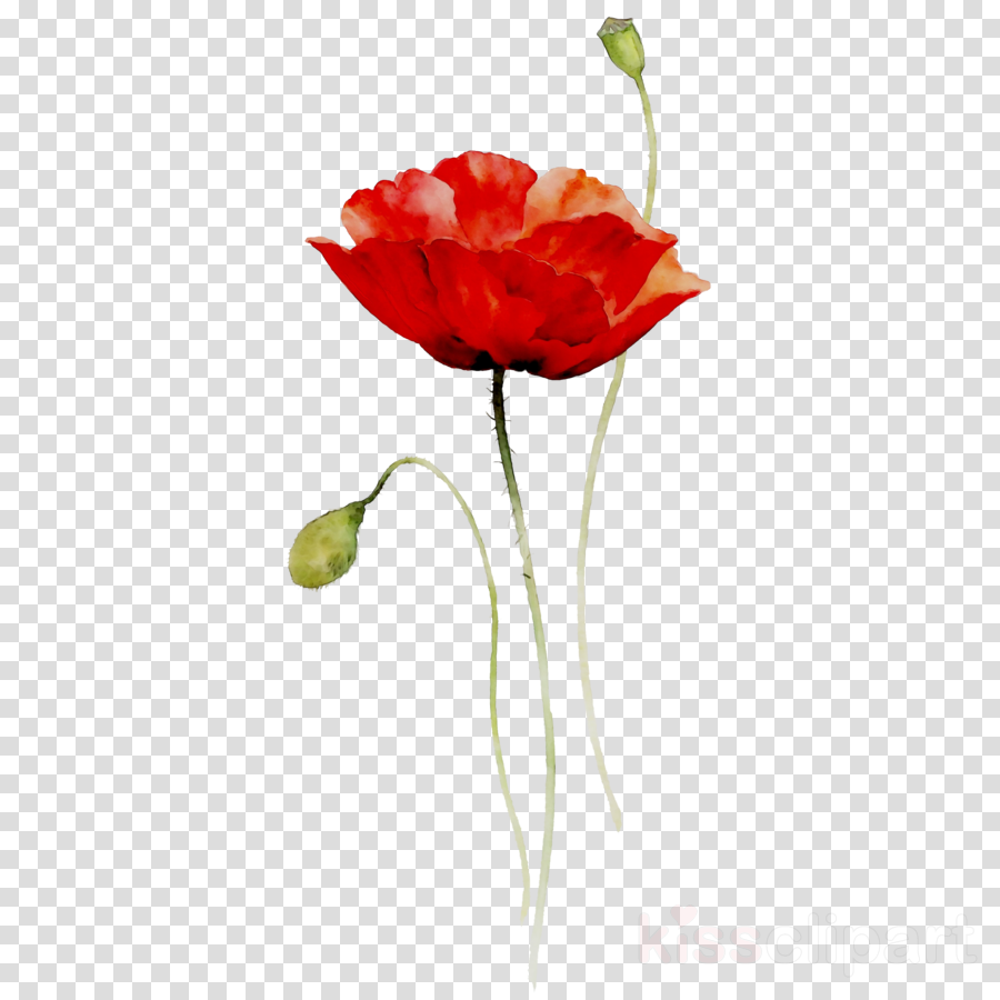Red watercolor flowers painting. Poppy clipart single poppy