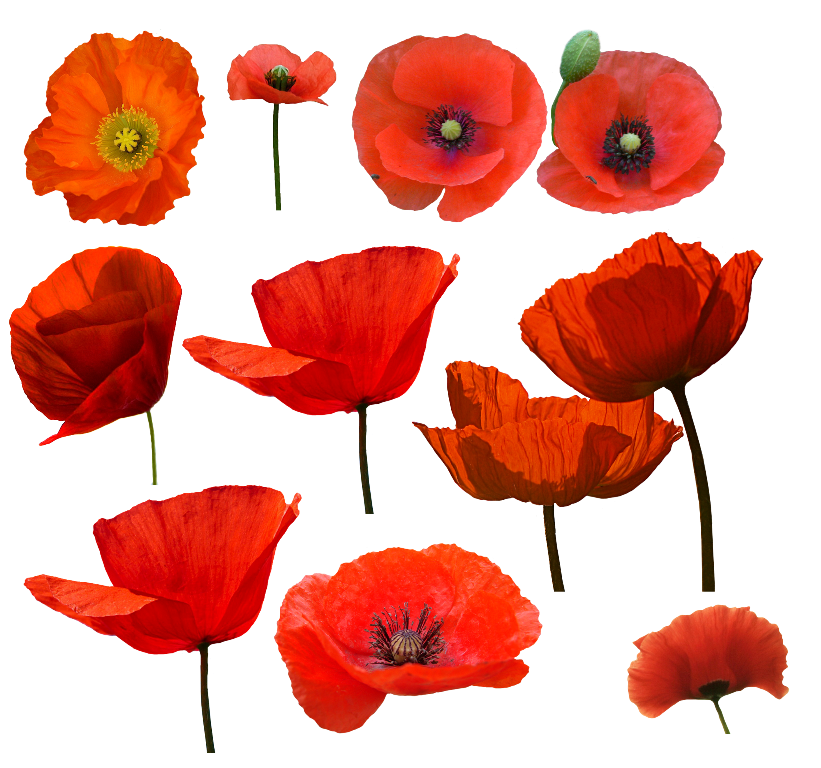 Amapolas pinterest watercolor tattoo. Poppy clipart three