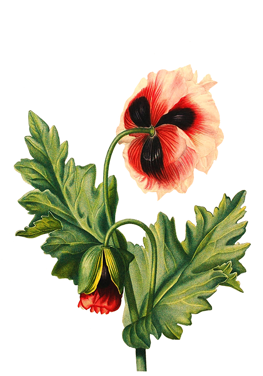 Poppy clipart transparent background. Digital scrapbooking flowers hisbiscus
