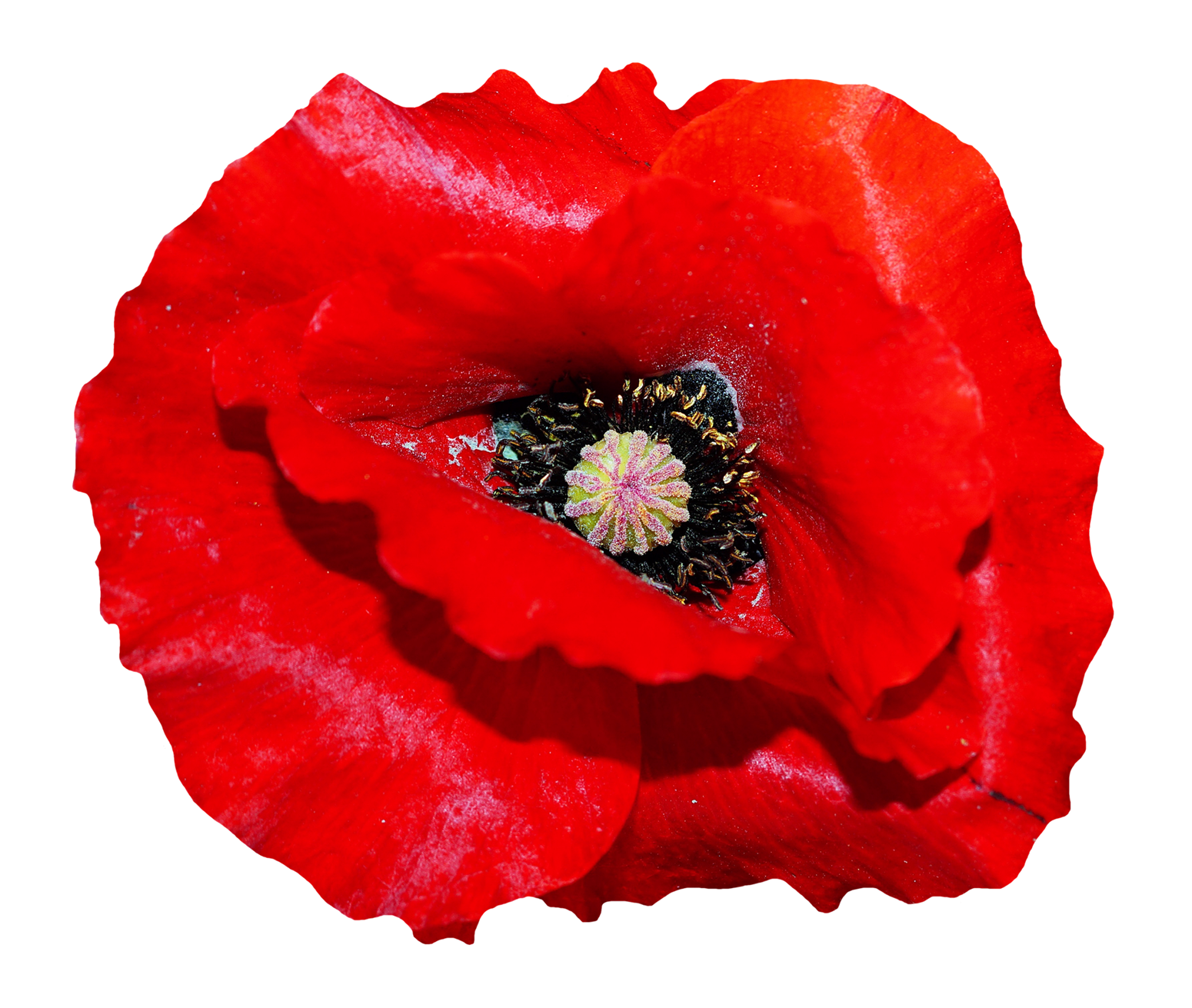 Poppy clipart transparent background. Flower png image purepng