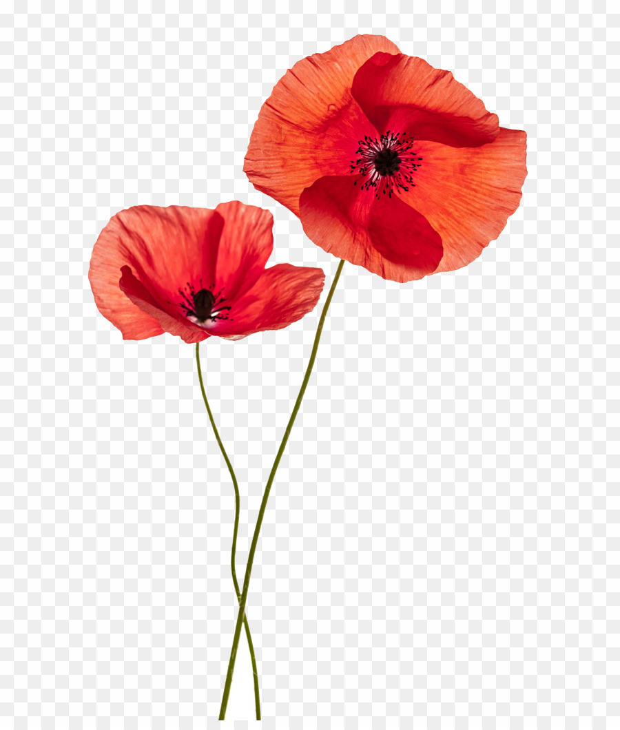 Flowers png common download. Poppy clipart two