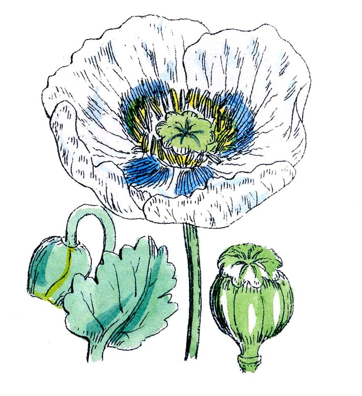 Poppy clipart vintage botanical. Clip art poppies library