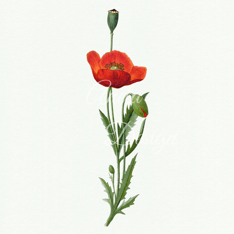 Flower illustration . Poppy clipart vintage botanical