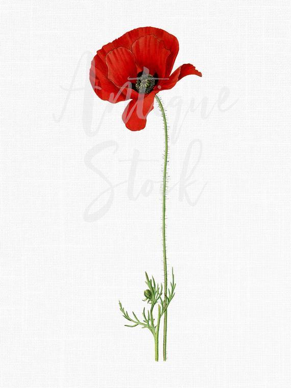 Poppy clipart vintage botanical. Red flower illustration digital