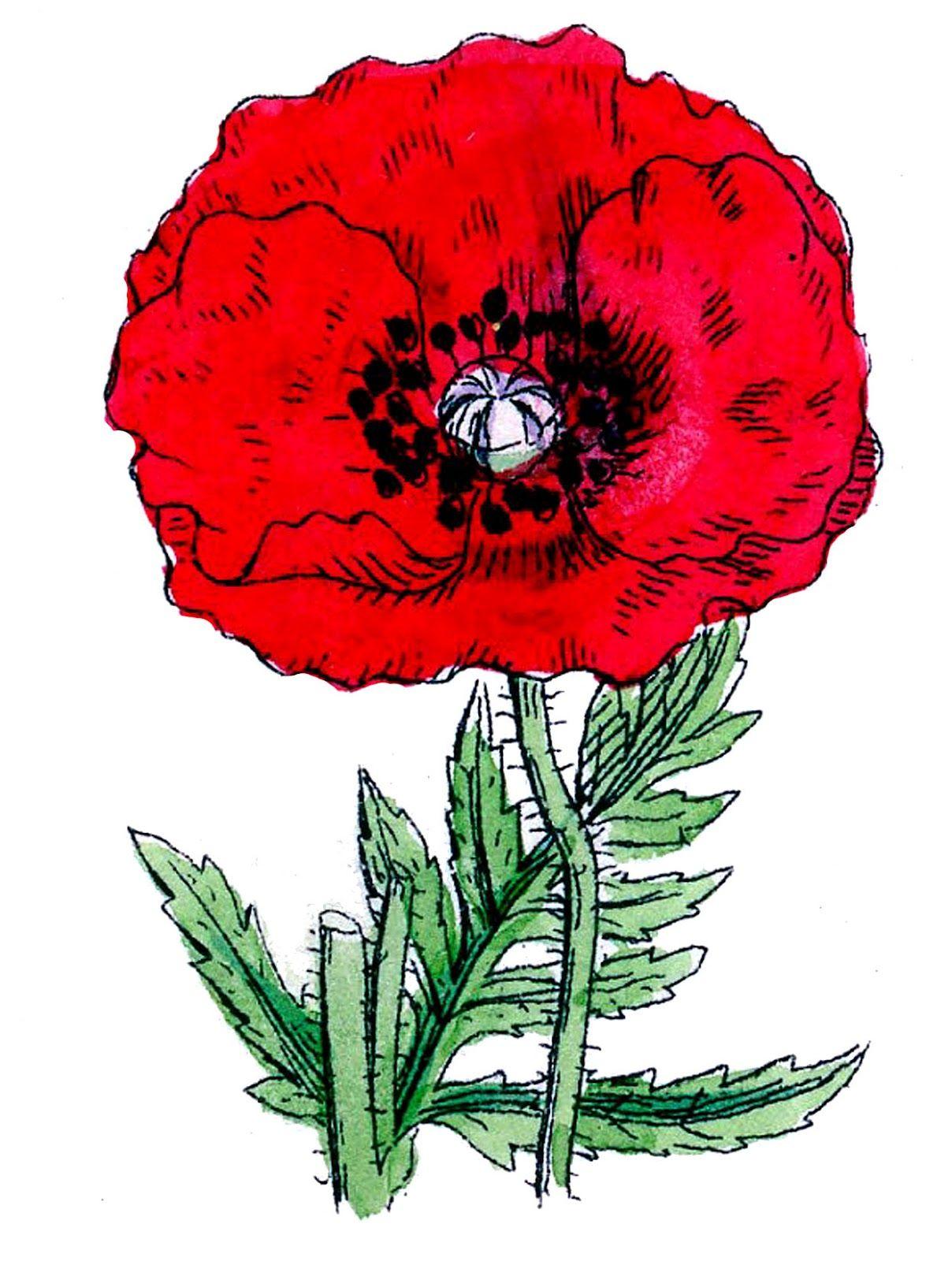 Clip art poppies living. Poppy clipart vintage botanical