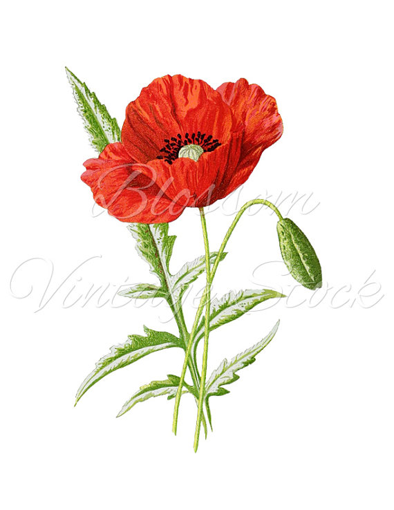 Red flower print floral. Poppy clipart vintage