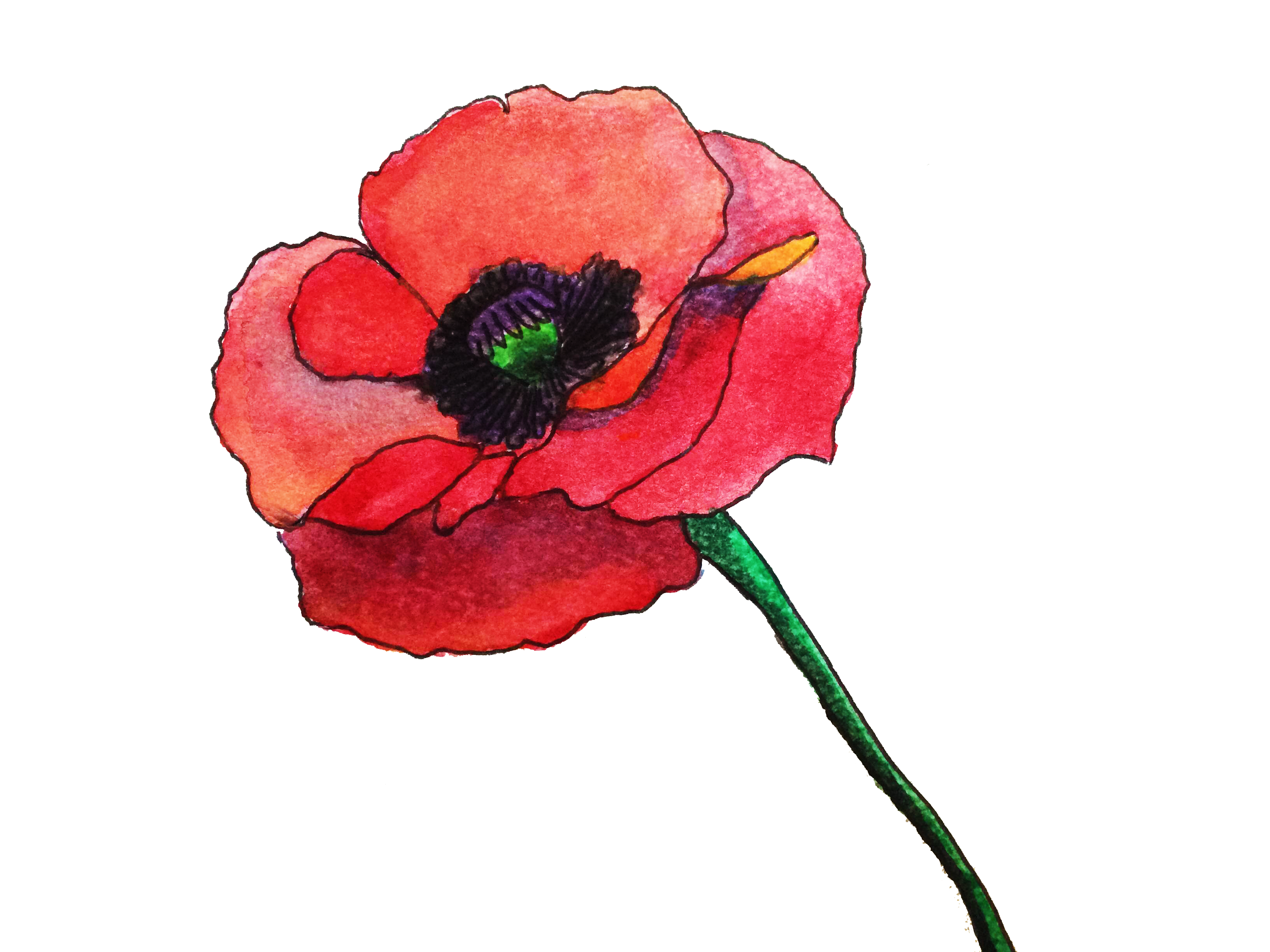 Free graphics painted by. Poppy clipart watercolor