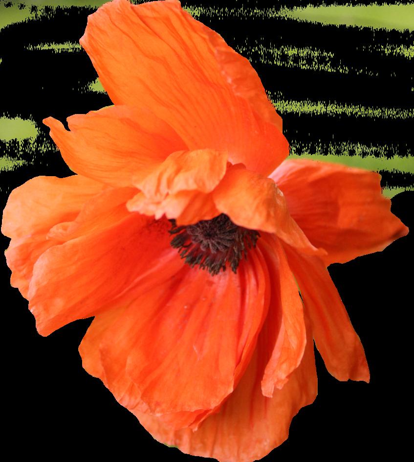 Poppy flower png. By thy darkest hour