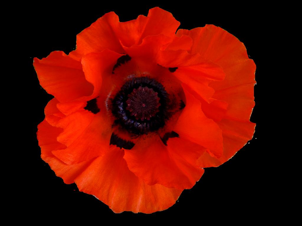 Image forgotten hope secret. Poppy flower png