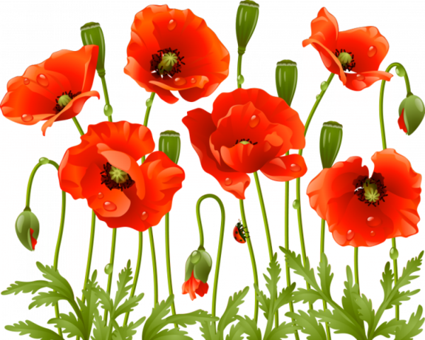 Flowers tube poppies pinterest. Poppy flower png