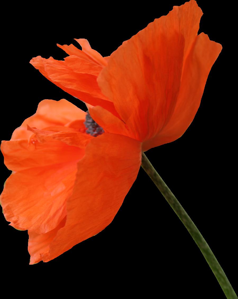 By thy darkest hour. Poppy flower png