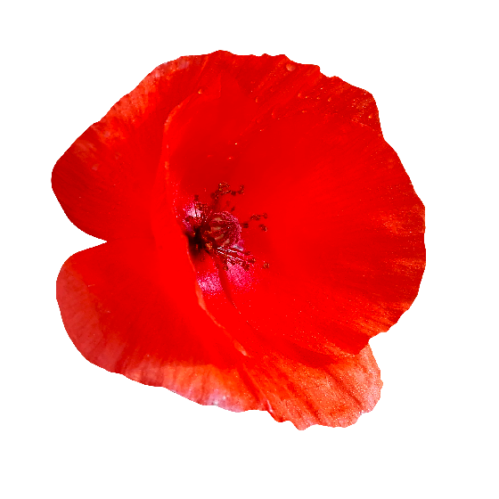 Poppy flower png. Tagged with nature pixsector