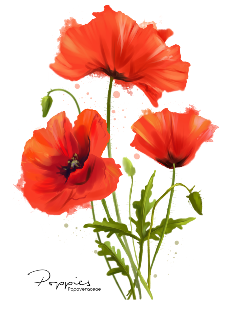 My flowers poppies watercolor. Poppy flower png