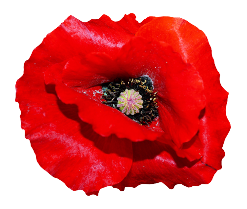 Poppy flower png. Transparent image pngpix