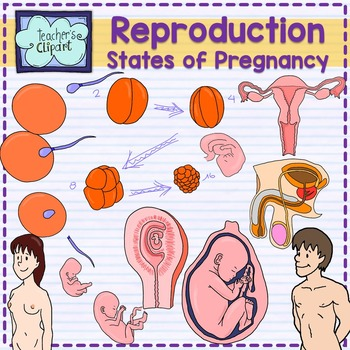 Human reproductive system and. Pregnancy clipart pregnancy stage