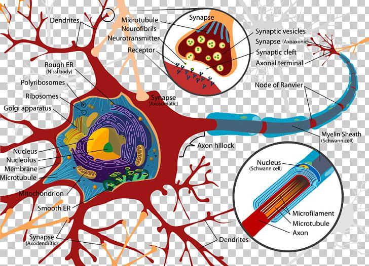 Psychology clipart biological psychology. Biology neuron behavioral neuroscience