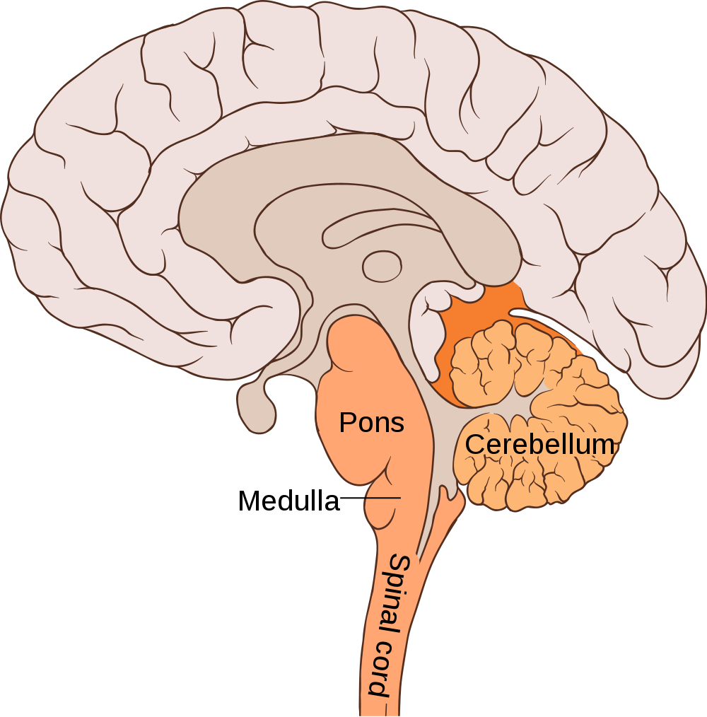Psychology clipart hippocampus brain. Get to know your