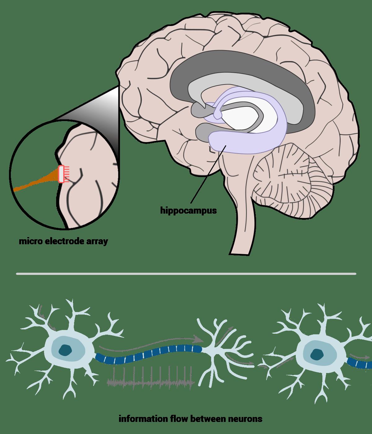 Building a better human. Psychology clipart hippocampus brain