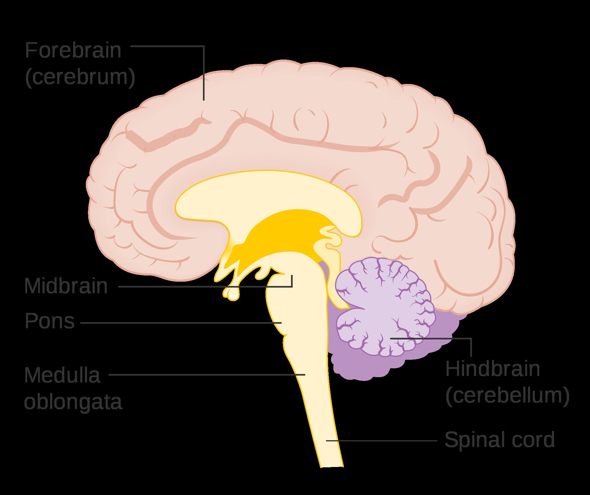 Psychology clipart midbrain. Hindbrain anatomy lifeinharmony