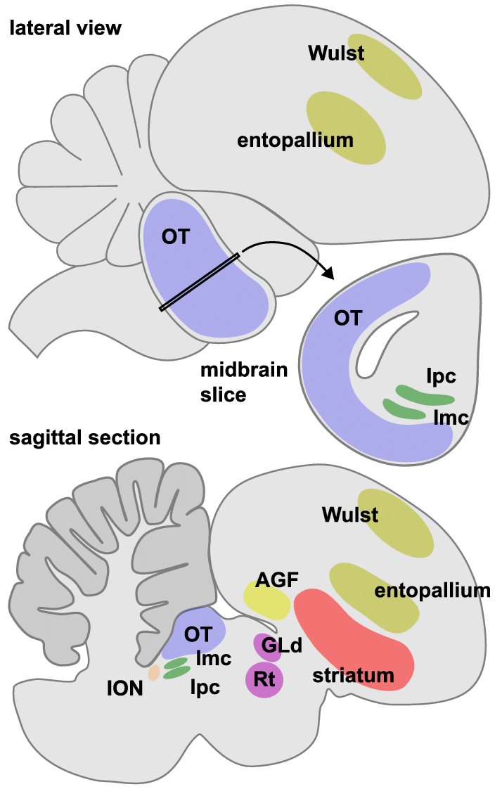 Psychology clipart midbrain. E schematic diagram of