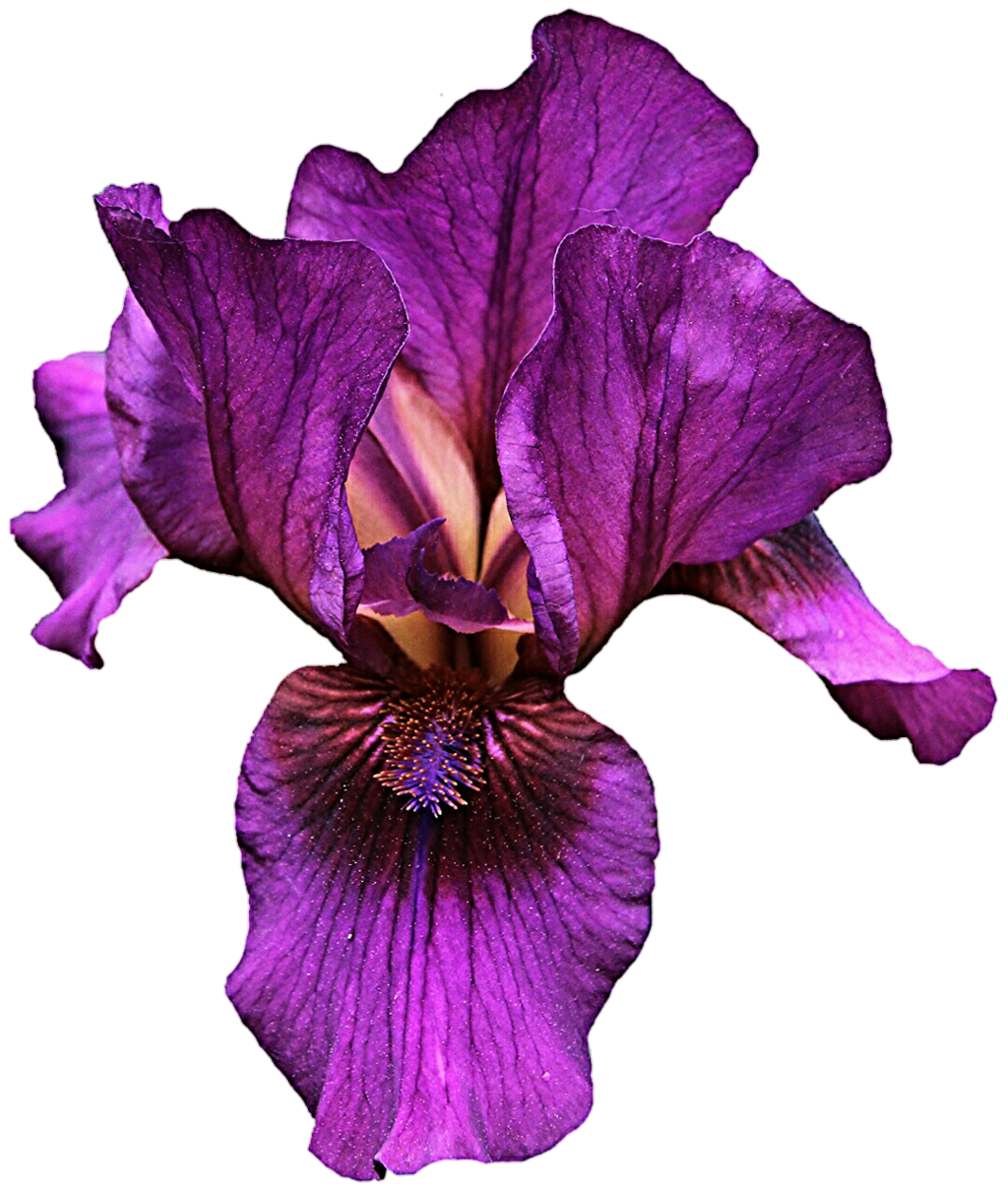Hd transparent images pluspng. Iris flower png