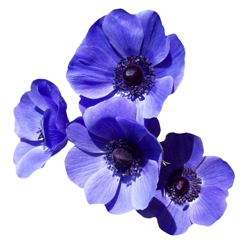 Transparent image pngpix. Purple flower png