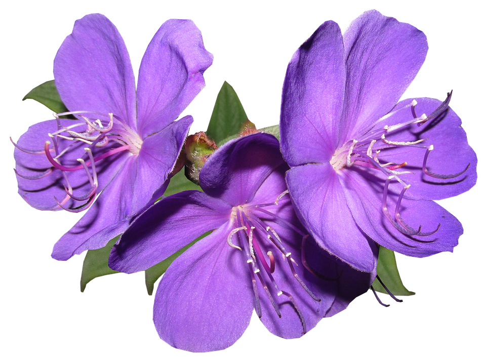 Purple flower png. Free photo bright summer