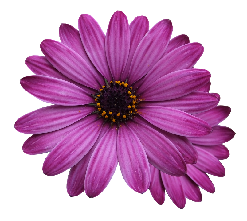 Purple flower png. Free photo flowers marigolds