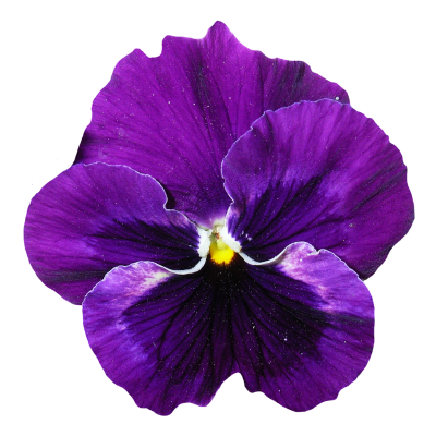 Download free transparent image. Purple flower png