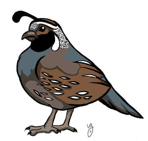 Cartoon drawings to draw. Quail clipart