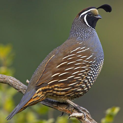 Quail clipart. Flying wallpaper jpg pixels
