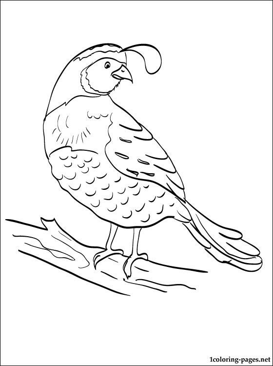 Coloring pages for kids. Quail clipart kid