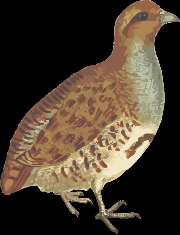 Grey isolated medium image. Quail clipart partridge