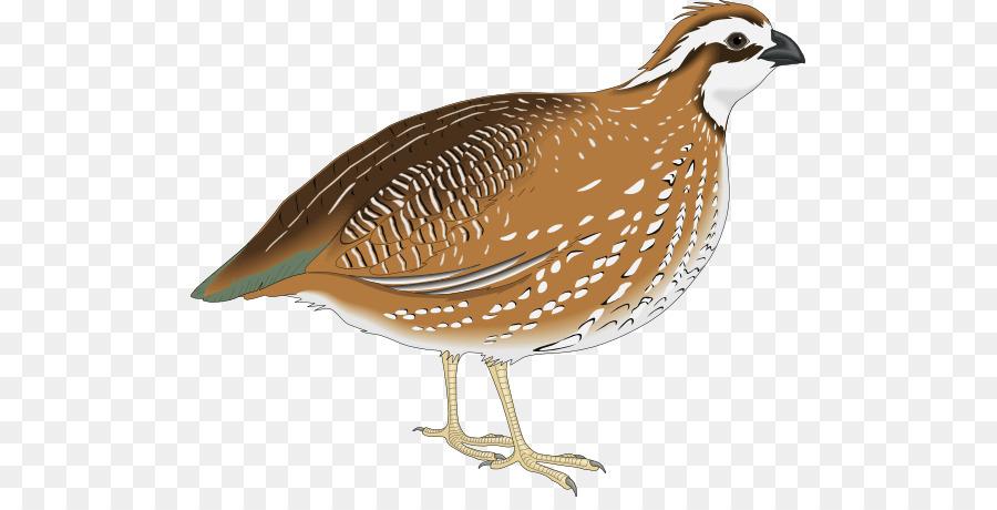 Chicken cartoon feather . Quail clipart quail bird
