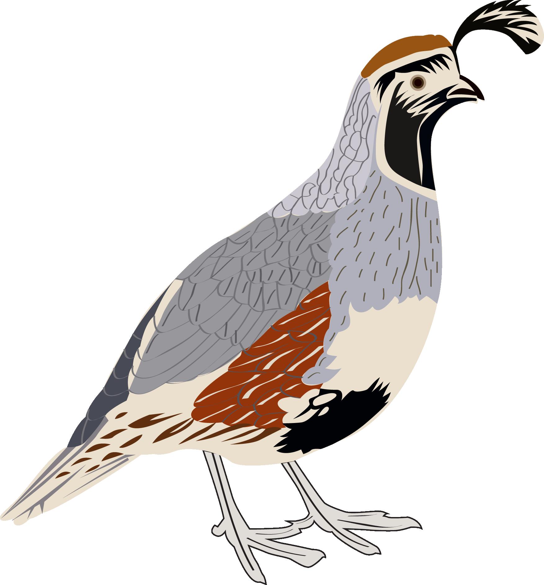 Quail clipart quail bird. Gambel s sticker arizona