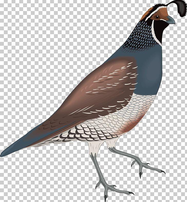 California bird png animals. Quail clipart quial