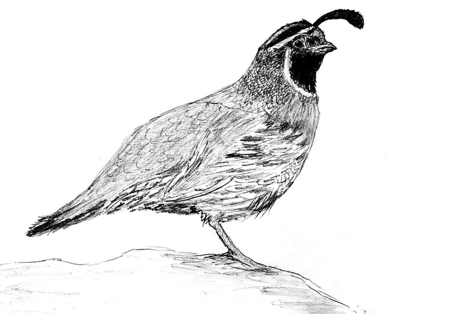 Drawing bird feather wing. Quail clipart sketch