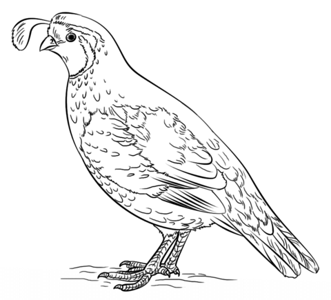 Quail clipart sketch. California valley coloring page