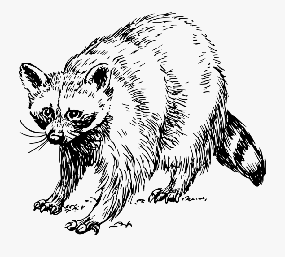 Racoon clipart black and white. Baby raccoon giant panda