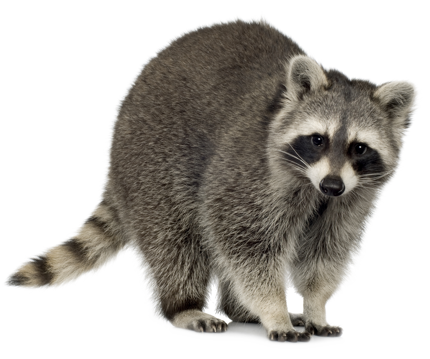 Racoon clipart grey object. Related image pinterest