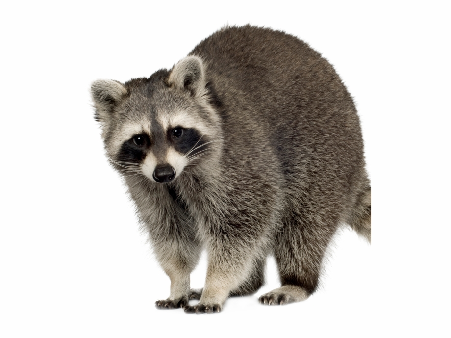 Racoons transparent background . Racoon clipart mammal
