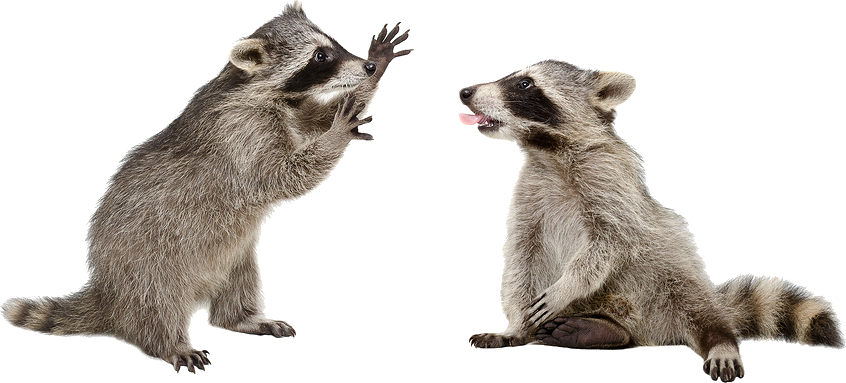 Racoon clipart mapache. Raccoon png transparent images