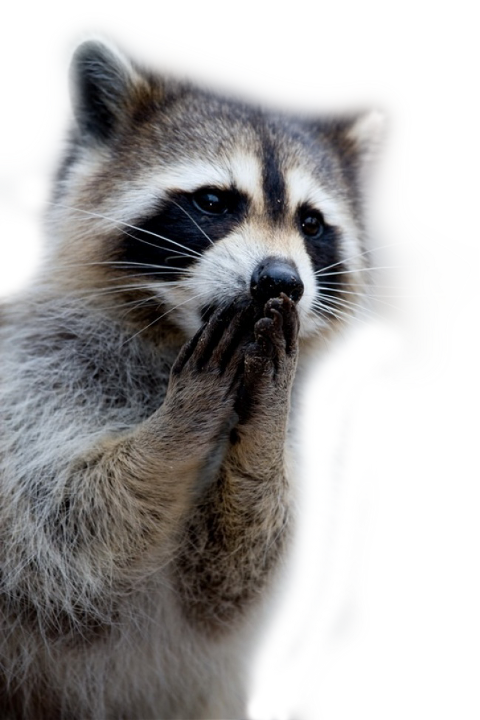 Racoon clipart mapache. Popular and trending stickers