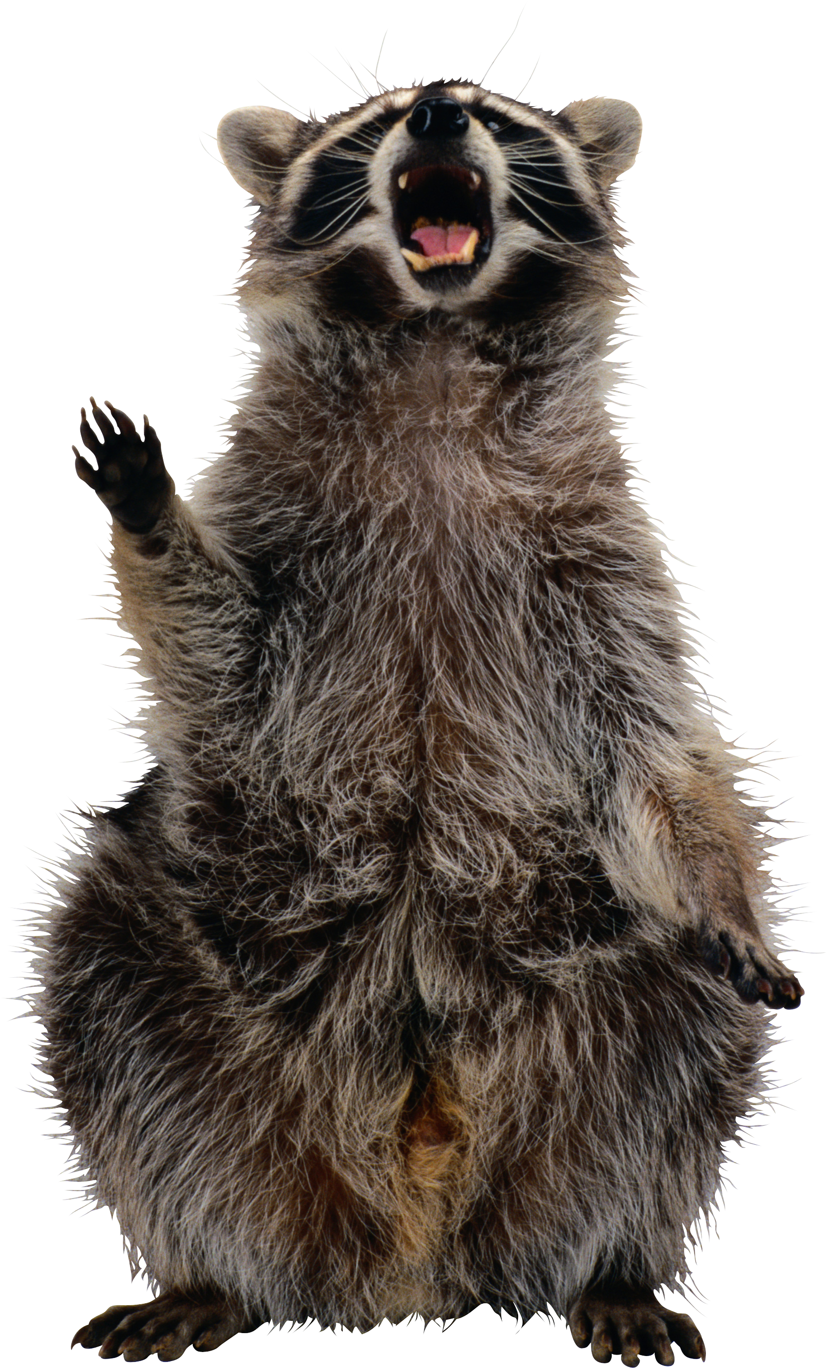Racoon clipart nocturnal animal. Raccoon png images free
