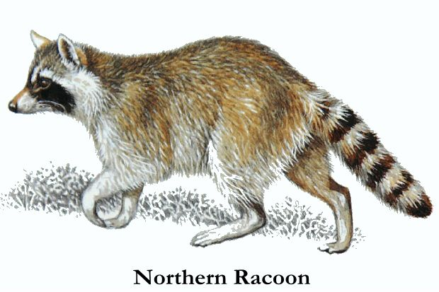 Racoon clipart realistic. How to draw a