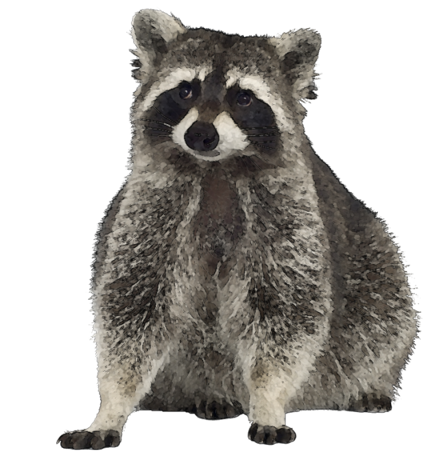 Racoon clipart realistic. Free raccoon image clipartpost
