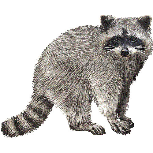 Free raccoon download clip. Racoon clipart realistic