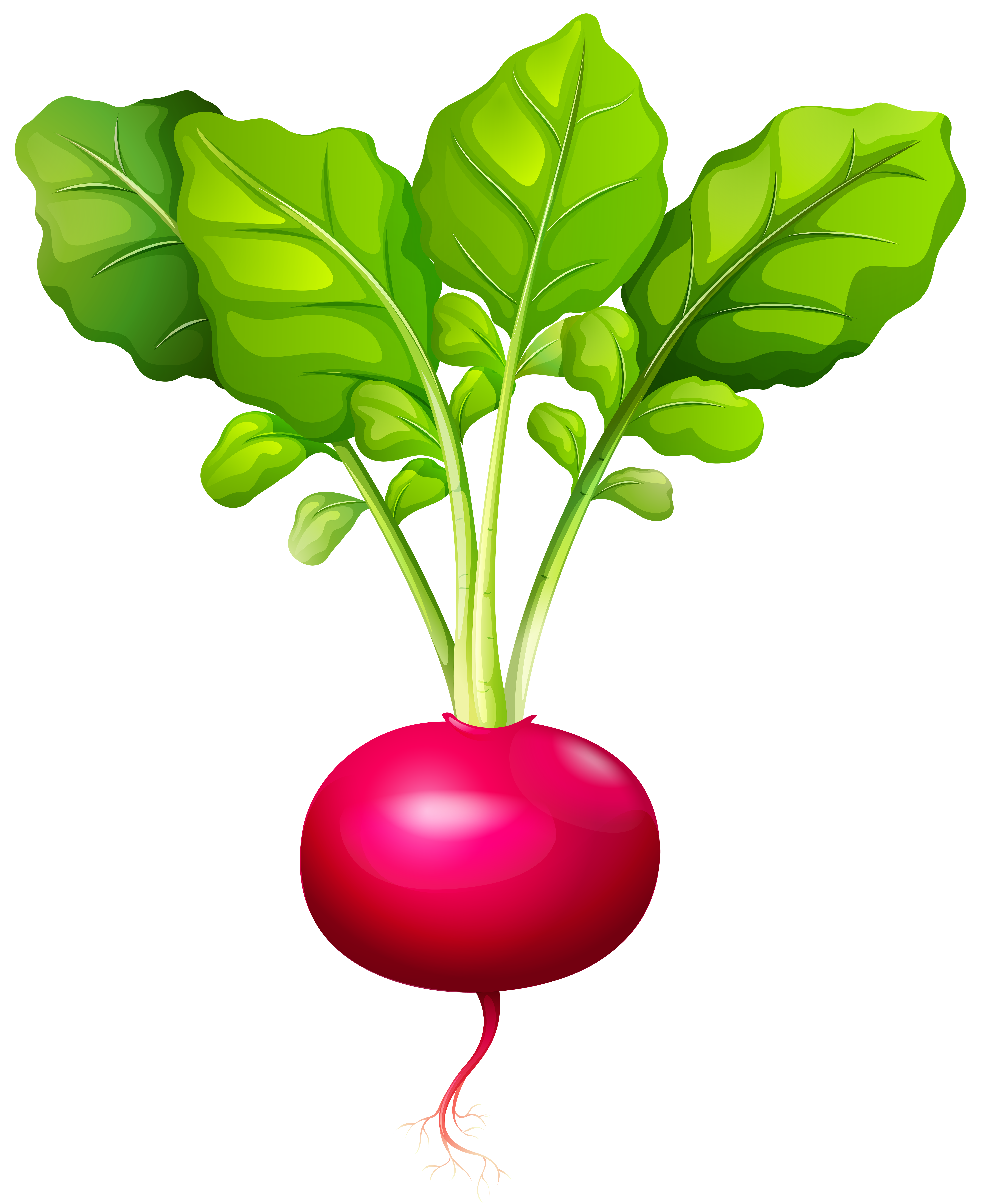Vegetables clipart turnip. Radish png clip art